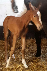 A foal by Diamant de Quidam!