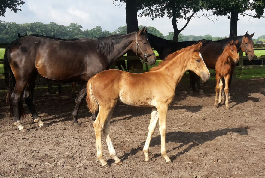 Gorgeous filly by Fürsten Look